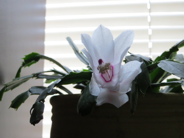 The Christmas Cactus that missed the date...